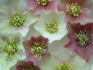 Hellebores floating in a bowl