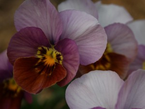 Historic Florist Mix Pansy