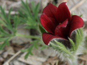 Red Pulsatilla