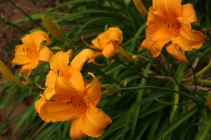 Daylily 8:15AM