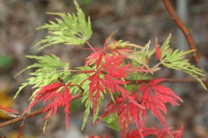 Japanese Maple 'Seiryu'