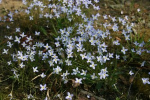 A clump of Bluets