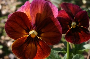 Viola 'Nature Mulberry Shades'