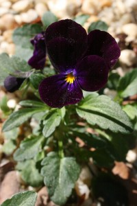 Viola (offspring of 'Bowle's Black')
