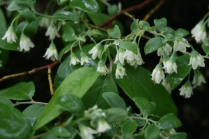 Deerberry flowers