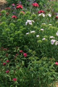 Dianthus barbatus, Single-flowered Mix