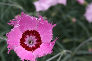 Dianthus x allwoodii 'Fragrant Village Pinks'