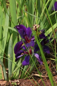 Louisiana Iris 'Black Gamecock'
