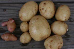 First Potato Harvest